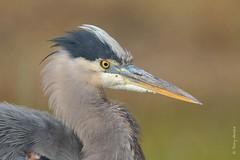 Great blue heron (Ardea herodias) (Tony Varela Photography) Tags: canon greatblueheron heron photographertonyvarela ardeaherodias gbhe