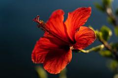 Backlit Flower (pa_cosgrove) Tags: macro backlit bokeh sony a73