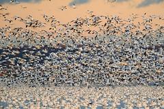 Sunrise Blastoff (dngovoni) Tags: action autumn background bird bombayhook delaware fall flight landscape snowgeese sunrise water wildlife smyrna unitedstates us