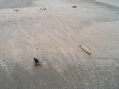 Gray seals on Ameland