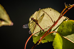 red_dragonfly-1_MaxHDR_Dehaze_Contrast (old_hippy1948) Tags: dragonfly