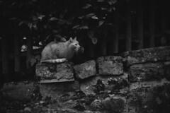 L1020306_M35F14V1_Cat_Heidelberg_GER (OPTIK AXIS) Tags: summiluxm11435 blackandwhite garylevel monochromatic blackandwhitefilm ライカmレンズ 単焦点レンズ ズミルックス leica leicacamera leicam9p germany