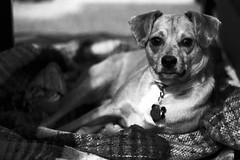 Relaxin' (JoshGrube) Tags: puppy dog sleepy beagle chihuahua cheagle mutt sleep tired blackandwhite cute sweet