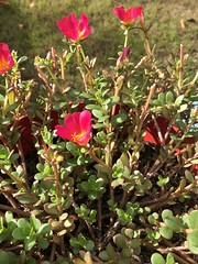 c2018 Sept 28, Red Purslane  IPhoneography 10 (King Kong 911) Tags: coneflowers hibiscus asters purslane plants growing green petals blooming