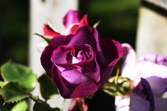 DSC_1808 (PeaTJay) Tags: nikond750 sigma reading lowerearley berkshire macro micro closeups gardens outdoors nature flora fauna plants flowers rose roses rosebuds
