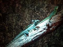 breda_6_018 (OurTravelPics.com) Tags: breda plumed basilisk another lizard upper floor reptielenhuis de aarde zoo