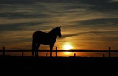 An Assateague Island Sunrise by Elaine Titlow (Maryland DNR) Tags: 2018 photocontest wildlife mammals ponies silhouette assateague sunrise