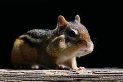 Guilty Chipmunk (Anne Ahearne) Tags: wild animal cute chipmunk nature wildlife closeup feeding portrait funny easternchipmunk