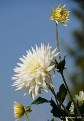 Dahlia (ditmaliepaard) Tags: bloemen flowers opdefiets elshout blauwelucht dahlia