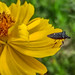 Stink Bug on a yellow flower #1