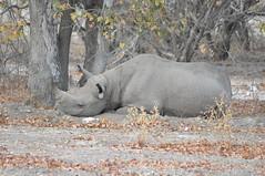 DSC_0522 (j1mdevl1n) Tags: namibia etoshanationalpark blackrhinoceros