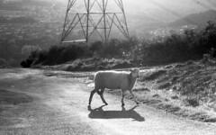 Ruminations (Fray Bentos) Tags: sheep wales shanghaigp3 mamiyam645 agfarodinal