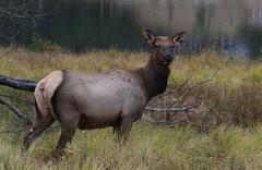 Cow Elk (fethers1) Tags: elk bullelk evergreen evergreenlake coloradowildlife