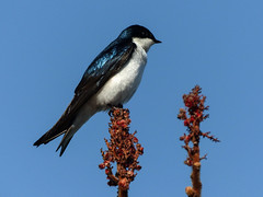 Day 2, Tree Swallow, Rondeau PP (annkelliott) Tags: ontario canada ptpeleetadoussacholiday day2 rondeauprovincialpark nature ornithology avian bird treeswallow tachycinetabicolor male perched treetop sideview sky outdoor spring 8may2018 fz200 fz2004 panasonic lumix annkelliott anneelliott ©anneelliott2018 ©allrightsreserved