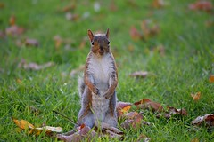 Optimistic squirrel (Jason Khoo Photography) Tags: nikonglobal impression explore nikond3300 flickr squirrellovers animallovers squirrelseasons animalseasons autumnal autumn eichhörnchen ardilla écureuil esquilo tupai furry greysquirrel earthlings soul life bokeh nutsaboutsquirrels madaboutsquirrels dof malesquirrel adorable cute esquirel escurel ngc whiskers zoomlens nikonphotography nikkor nikon unlimitedphotos naturephotography naturallighting natural naturesbest nature outdoorphotography urbanwildlife urbanwildlifephotography digitalphotography amateurphotographer amateurphotography pics photo photography animalportraiture animalportrait animalphotography portraiture portrait squirrelportrait squirrelphotography mammalia mammal animalia animal sciurus sciuridae rodents rodentia rodent squirrels squishy squirrel
