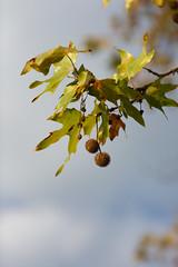 Platanus x hispanica (mjwpix) Tags: platanusxhispanicaplatanusxacerifolia londonplane tree leaves autumnal spherical sky michaeljohnwhite mjwpix canoneos5dmarkiii ef135mmf2lusm