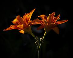 Summer Days (MrBlueSky*) Tags: flower petal garden horticulture nature outdoor colour kewgardens royalbotanicgardens london pentax pentaxart pentaxlife pentaxawards pentaxflickraward pentaxk1mkii aficionados