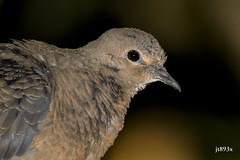 Mourning Dove (jt893x) Tags: 150600mm bird d500 dove jt893x mourningdove nikon nikond500 portrait profile sigma sigma150600mmf563dgoshsms zenaidamacroura thesunshinegroup coth alittlebeauty coth5 sunrays5