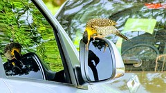 My adorable woodpecker (sileneandrade10) Tags: sileneandrade picapau picapaudocampo picapaudocerrado colaptescampestris campoflicker picidae piciformes retrovisor photoedition photoart playphoto sonydschx400v sony animal reflexo espelho