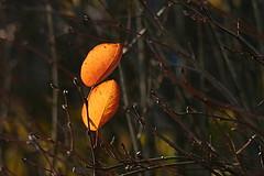 autumn glow (EllaH52) Tags: tree branches twigs leaves autumn yellow glow bokeh macro minimalism