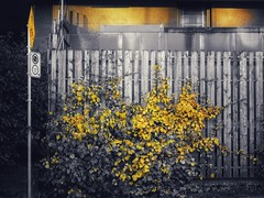 Mellow yellow (Edna Winti) Tags: ednawinti vancouver westend autumn fall alley vines yellow
