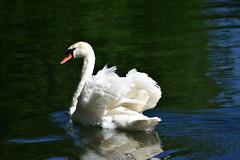 Gliding Along On The River.... (Wire_cat) Tags: swan bird waterfowl river water bedford nikond40 wirecat