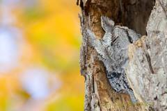 Fall's Screech (fsong) Tags: eastern screech owl fall