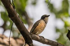 _D502611 (crispiks) Tags: nikon d500 70200 f28 barnawartha north east victoria birdlife