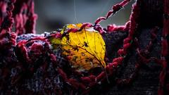 last place (A.K. 90) Tags: redyelloworange leaf herbst autumn fall rot orange gelb beautifullight sunshine perspektive lostplace urbex urban forgotten sonyalpha6000 e18135mmf3556oss makro blatt buche