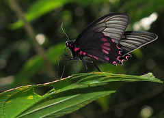 Parides neophilus (Over 4 million views!) Tags: butterfly papilionidae paridesneophilus peru butterflies insect