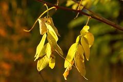 После жаркого лета / After hot summer (Владимир-61) Tags: осень октябрь природа листва роща дерево ветка желтый зеленый autumn october nature foliage grove tree branch yellow green sony ilca68 minolta28135