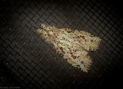 Iscadia poliochroa (dustaway) Tags: arthropoda insecta lepidoptera nolidae eligmanae iscadiapoliochroa australianmoths australianinsects tamborinemountain mounttamborine sequeensland queensland australia natur nature australianwildlife