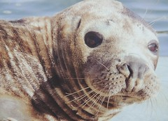 Am I Cute (Kevin Pendragon) Tags: seal pup fur water rescue young nature cornwall cornwallsealsanctuary