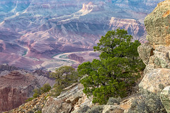 It's Piñons All the Way Down (Kirk Lougheed) Tags: arizona coloradoplateau coloradoriver grandcanyon grandcanyonnationalpark lipanpoint southrim usa unitedstates canyon landscape nationalpark outdoor park pine pinyon piñon rim river summer tree water
