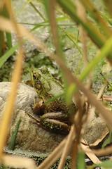 Frog (historygradguy (jobhunting)) Tags: easton ny newyork upstate washingtoncounty animal amphibian frog