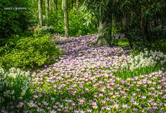 Lila Lila Lila (Geert E) Tags: nature wood flowers keukenhof holland