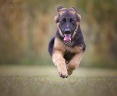 (Cristina Laugero) Tags: pastore tedesco cicciolo puppy run dogsinaction perro