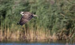 Osprey (Westhay Moor NNR) (Steve Balcombe) Tags: bird raptor birdofprey osprey inflight westhaymoornnr westhay somerset levels uk