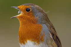 I'm Forever Blowing Bubbles (bainebiker) Tags: robin bird wildlife bubble nature bwlchnantyrarian ceredigion walesuk