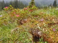 Alpine flowers (sander_sloots) Tags: alpine flowers bloemen alpen alps mürtschenstock mountain obstalden filzbach rocks rotsen swiss switzerland zwitserland