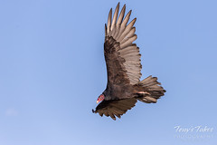 September 20, 2018 - A Turkey Vulture patrols Northglenn. (Tony's Takes)