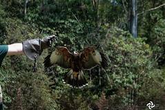 Turma do Gaviao (OtCirc Fotografia) Tags: nikon nikond90 d90 brasil brazil animais animals águia gavião hawk maua bioparquemacuco macuco educação education biologia biology ecology ecologia gopro natureza nature