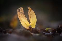 Torn (ursulamller900) Tags: helios442 leaf blatt waldgrund forest autumn herbst bokeh yellow