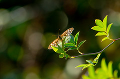 Transparency (microwyred) Tags: forestwoods events nature leaf insect beautyinnature plant animal greencolor backgrounds wildlife outdoors macro tree butterfly forest specledwood freshness closeup environment summer yellow springtime branch