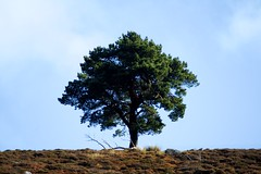 Another 'Lone Tree' Photo (Dave 'FBI' Gibbons) Tags: greatbritain scotland scot scots scottish perth perthshire wild nature wildlife canon