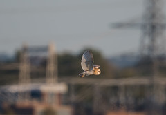 Barn Owl -4112 (seandarcy2) Tags: birds bif handheld owl barnowl raptors birdsofprey owls wildlife wild uk