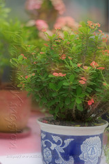 HeliosX01T4265 (kingston Tam) Tags: pottedplants flowers painterlyfeel watercolorpainting colors oldlens bokeh brightcolors fujifilmxt1 helios442f258