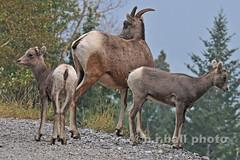 BRB_3250cesn c (b.r.ball) Tags: brball banff banffnationalpark alberta canada mountains bighornsheep