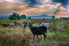Blacks & Wites...in color (Dimitil) Tags: pedhinon pedino krditsa thessaly greece hellas pasture troop rays clouds sky colors sunrise morning animals sheep country rural herbage pasturage feed forage graze grazing county nature sheepcote sheepfold animal pelouse arbre ciel champ forêt