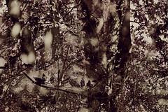 0808 04 (pni) Tags: nature park forest tree multiexposure multipleexposure tripleexposure hiidenkiukaanpuisto jätterösparken lövö lehtisaari helsinki helsingfors finland suomi pekkanikrus skrubu pni leaf foliage branch